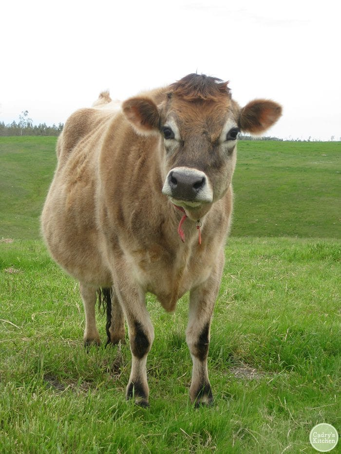 Mario the steer at Farm Sanctuary in California.