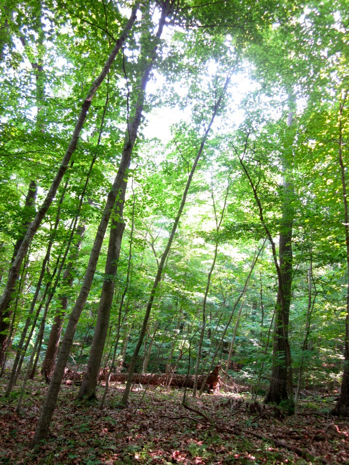 Tall green trees in wooded hiking area.