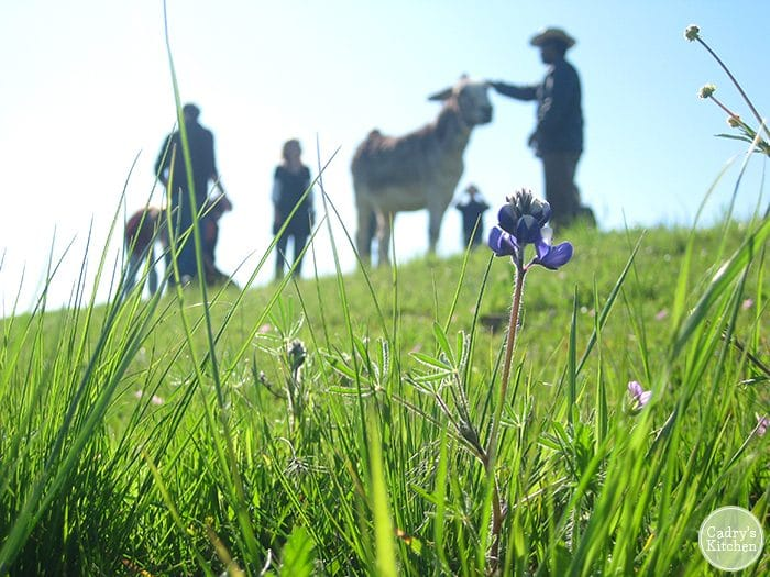 Flowers in foreground. People with donkey at Farm Sanctuary in Orland, California.