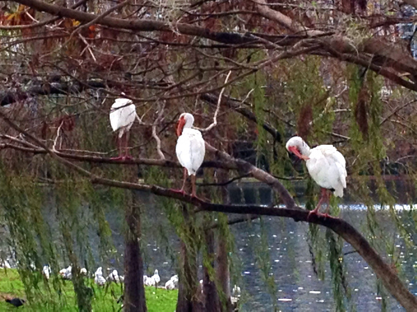 Birds in trees by Lake Eola in Orlando, Florida.