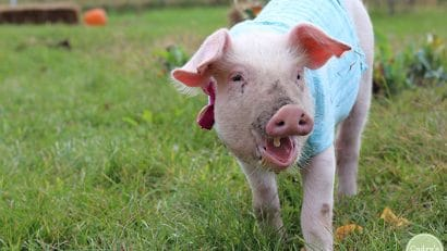 Fern the pig at Iowa Farm Sanctuary.