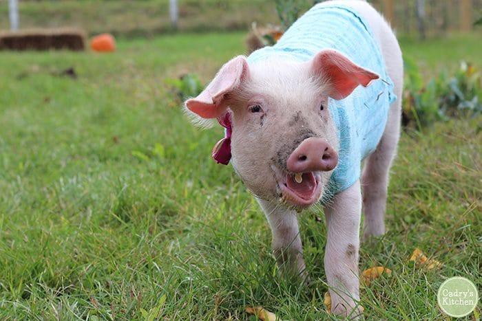 Vegan resources. Fern the pig at Iowa Farm Sanctuary.