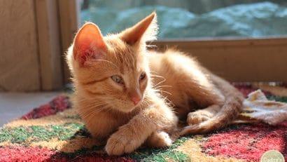 Kitten Avon relaxing on rug.