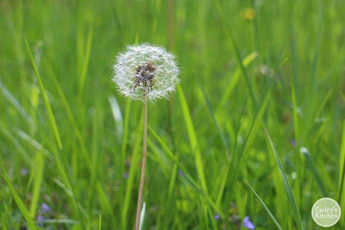 Dandelion in grass.