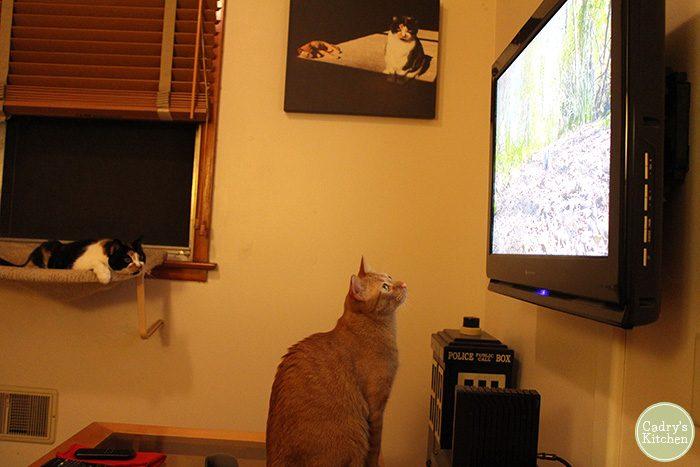 Avon the cat watching bird on TV, Jezebel in background.