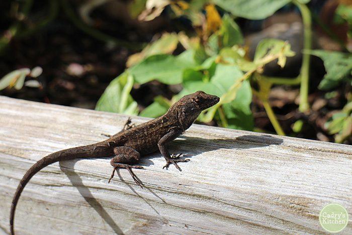 Lizard on board by plants.