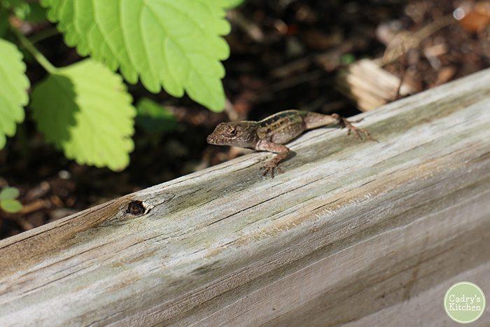 Lizard crawling on board by plants.