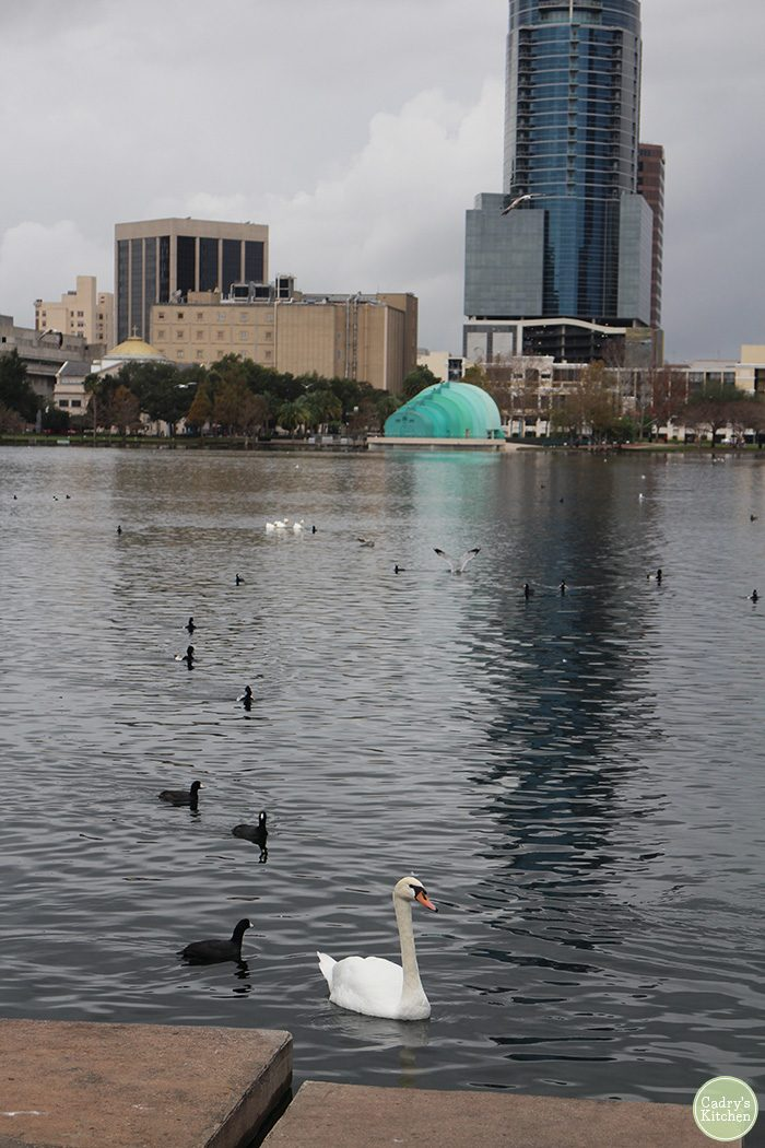 Swans on Lake Eola.