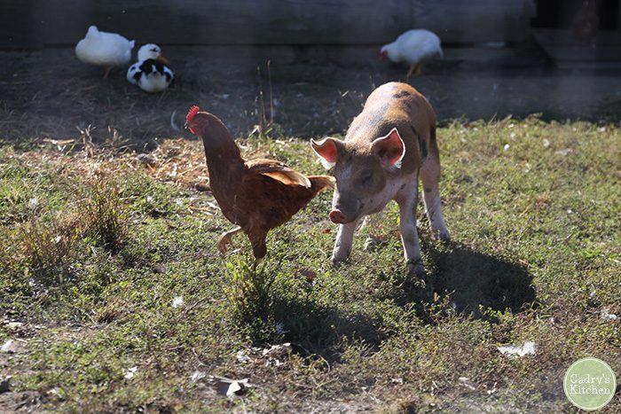 Pig and chicken at Iowa Farm Sanctuary.