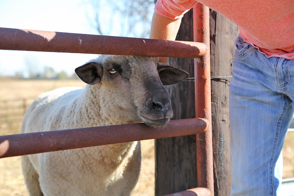 Sheep getting petted.