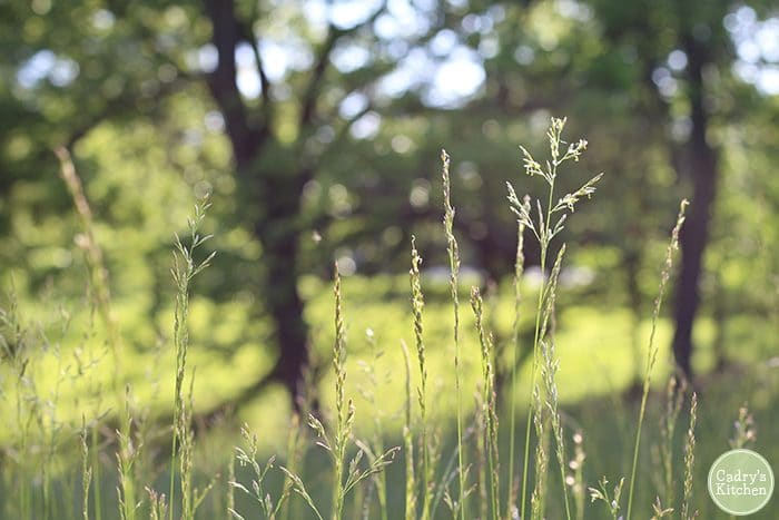 Tall, overgrown grass with light shining through it.