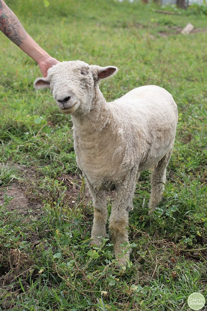 Tauntaun the sheep at Iowa Farm Sanctuary.
