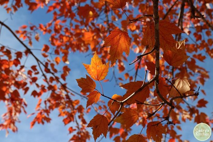 Orange autumn leaves on tree.