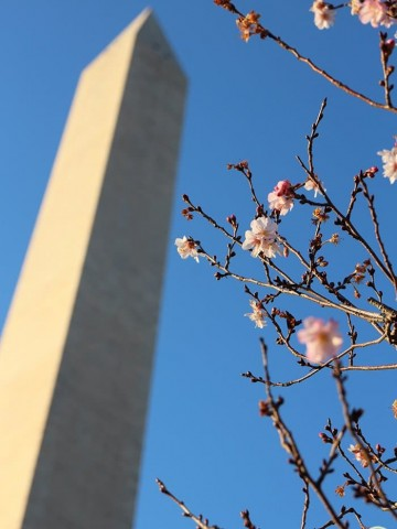 Cherry blossoms in front of Washington Monument.