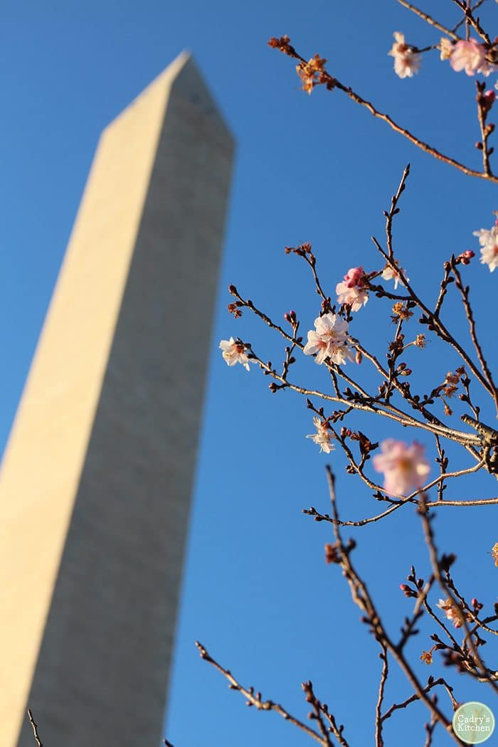 Washington DC travel. Cherry blossoms in front of Washington Monument.