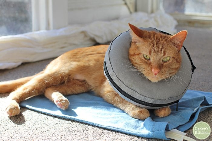 Avon wearing a cone after surgery.