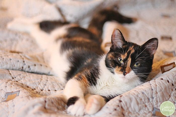 Cally the calico cat laying on bed.