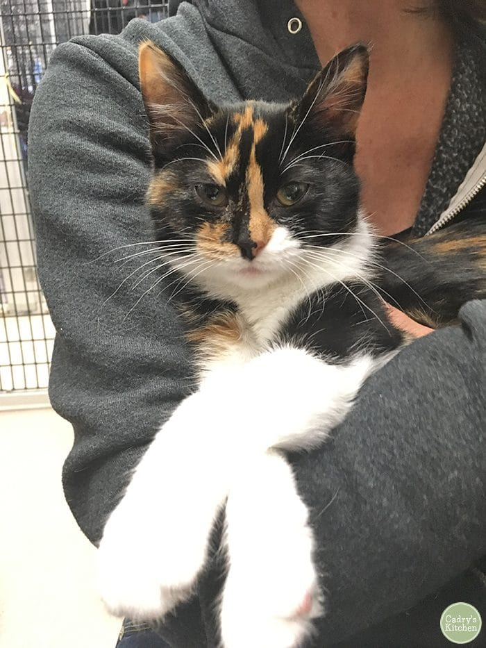 Cally the calico cat being held at a shelter.