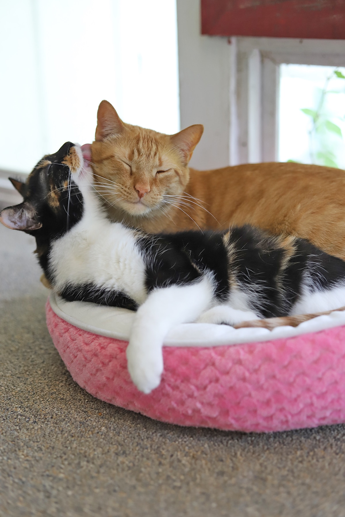 Avon and Cally grooming each other in cat bed.