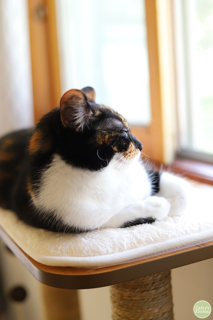 Cally sitting on cat tree top.