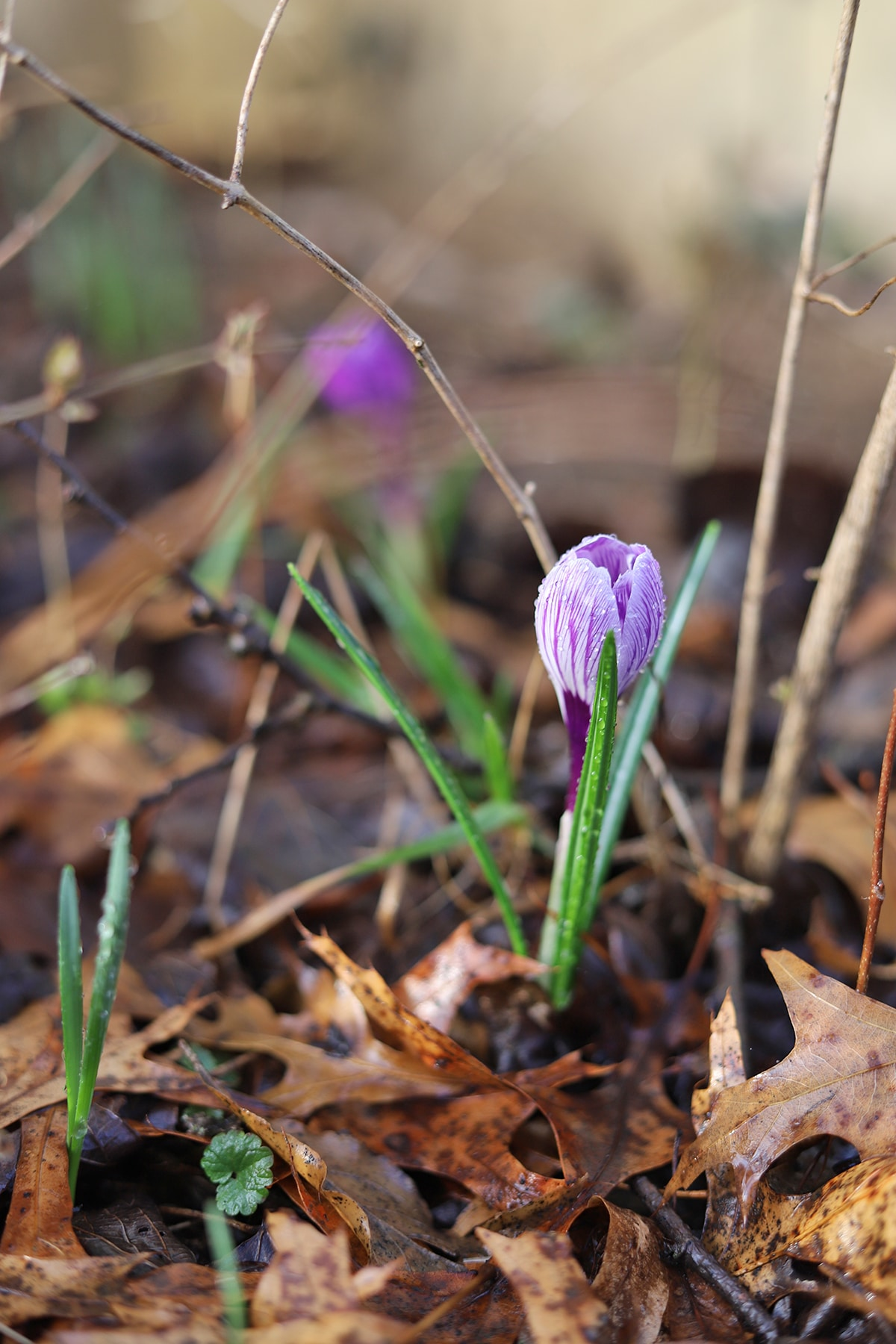 Crocus budding in the yard.