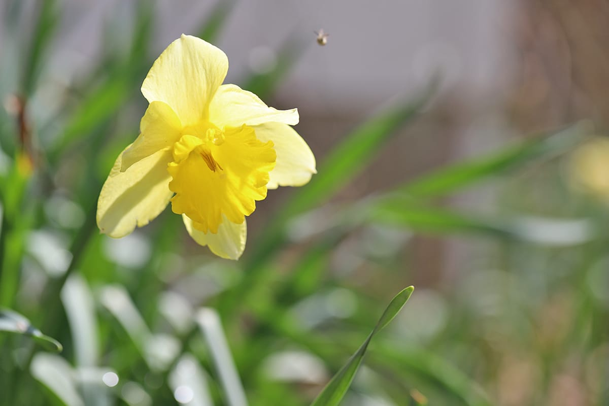Bee flying by daffodil in yard.