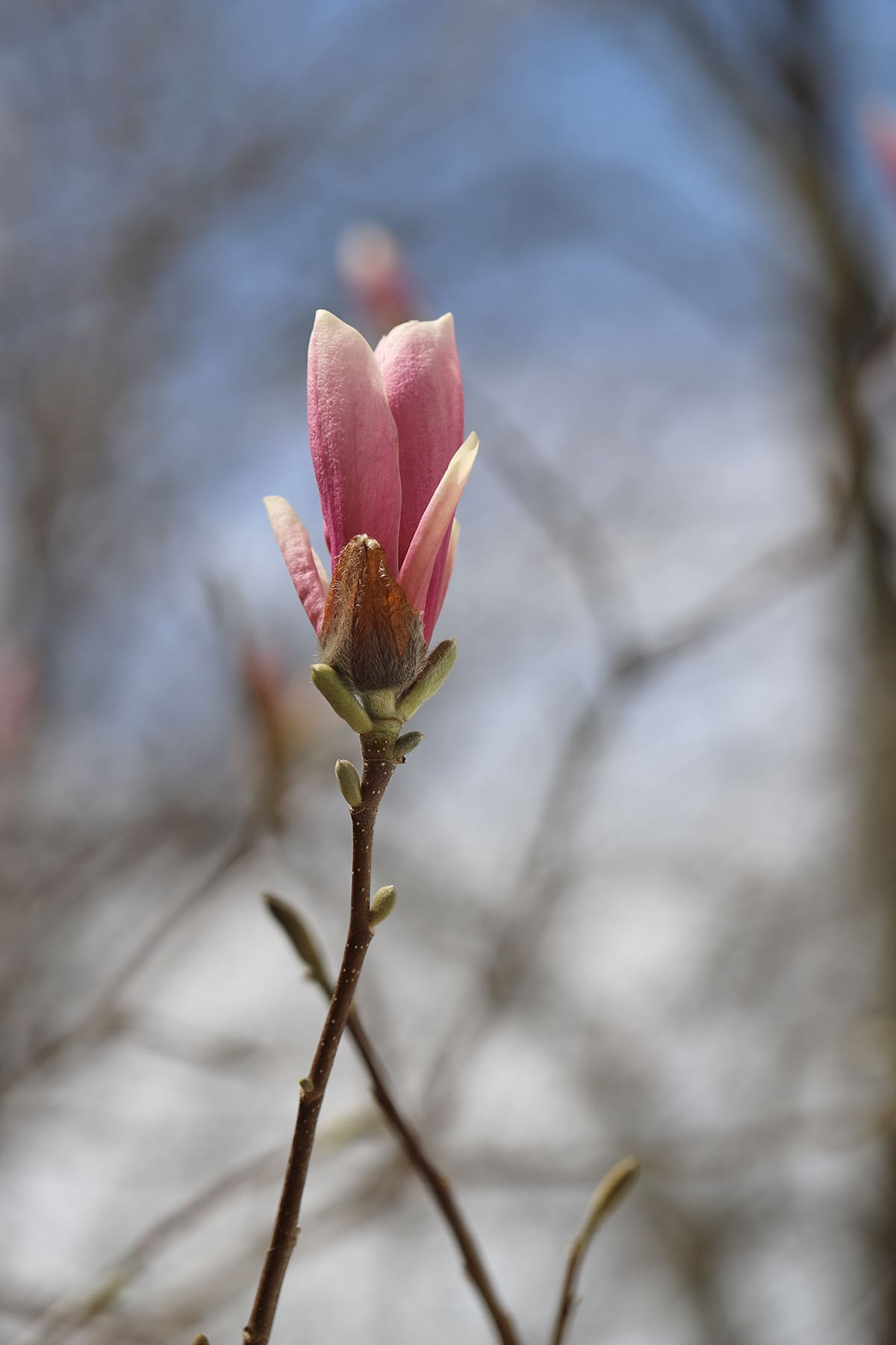 Magnolia blooming on tree.